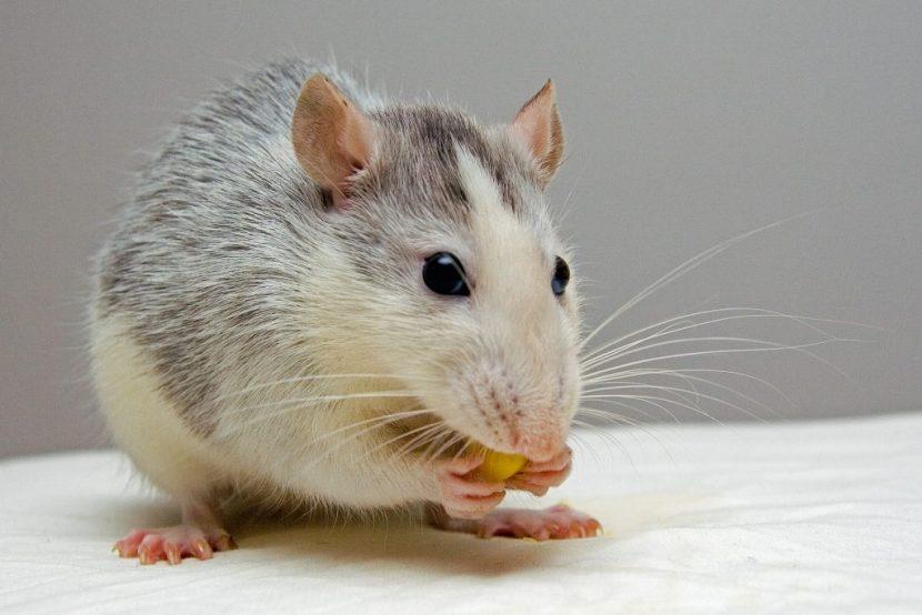 Unistavanje pacova