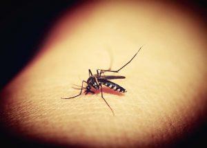 ubod-komarca